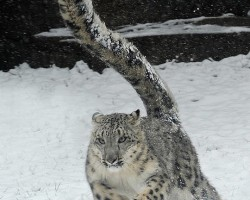 Big Cat In The Snow