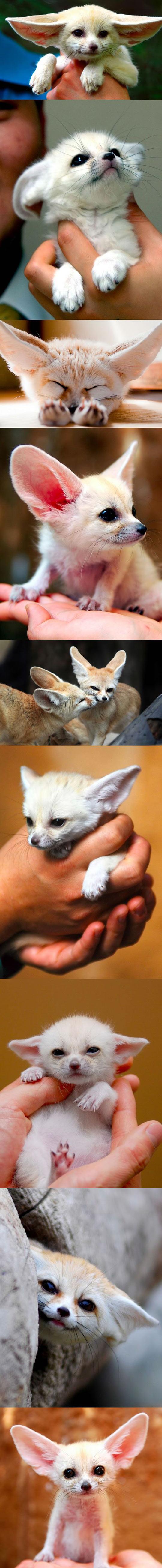 Fennec Fox Appreciation Post