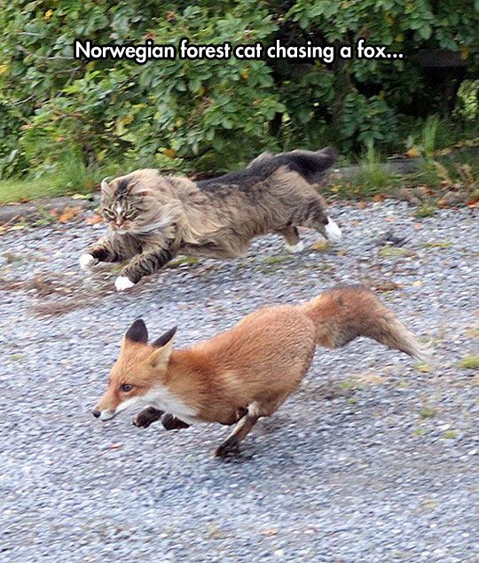 cool-fox-Norwegian-forest-cat