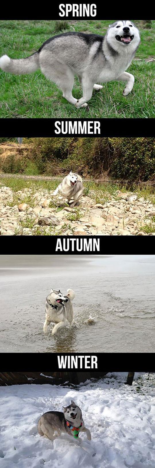 cool-husky-playing-seasons-winter
