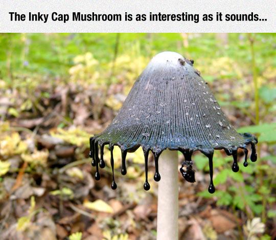 The Inky Cap Mushroom