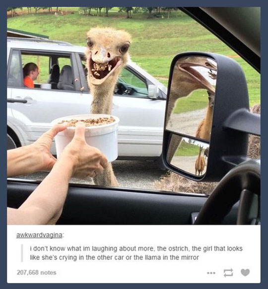 cool-ostrich-eating-car-window