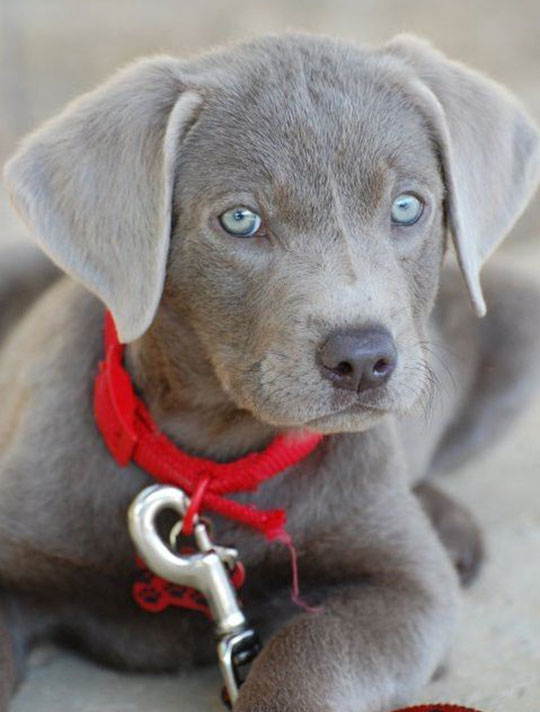 Gorgeous Silver Lab Puppy