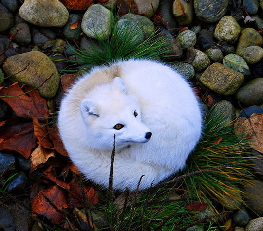 Magnificent Arctic Fox