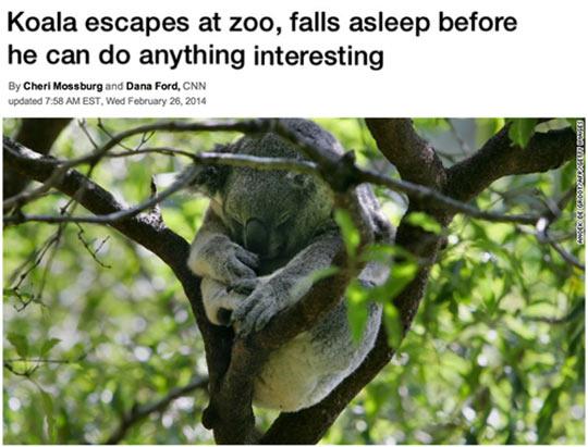 cool-zoo-koala-escapes-fall-sleep