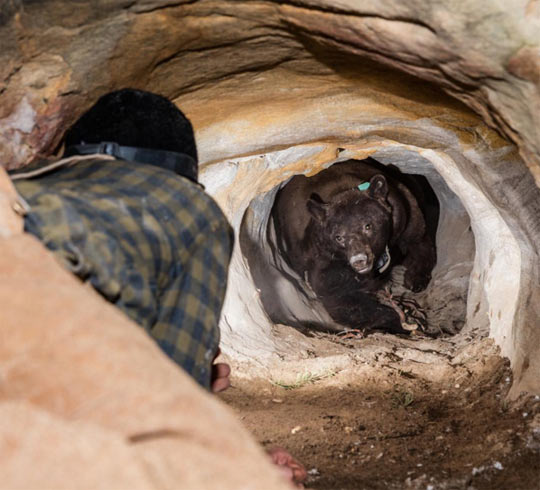 funny-bear-cave-trap