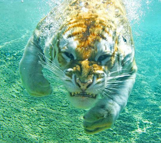 tiger-under-water-fierce