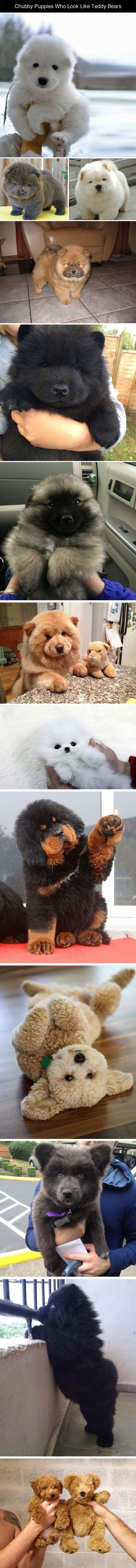 Some Puppies Who Look Like Teddy Bears