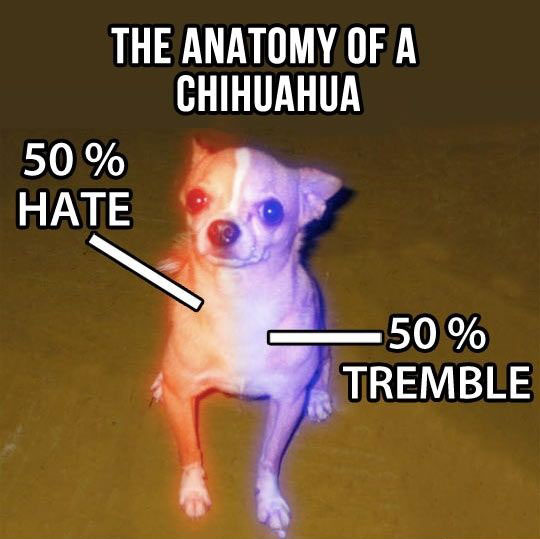 cool-Chihuahua-dog-percentage-colors