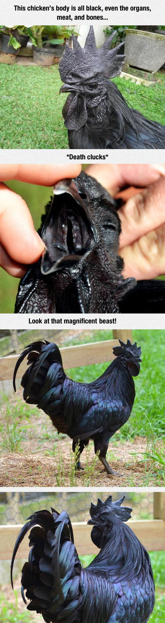 This Is The Kadaknath, The Most Metal Chicken Ever