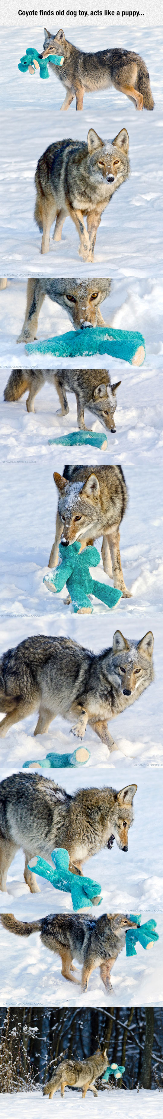 cool-coyote-playing-dog-toy-snow