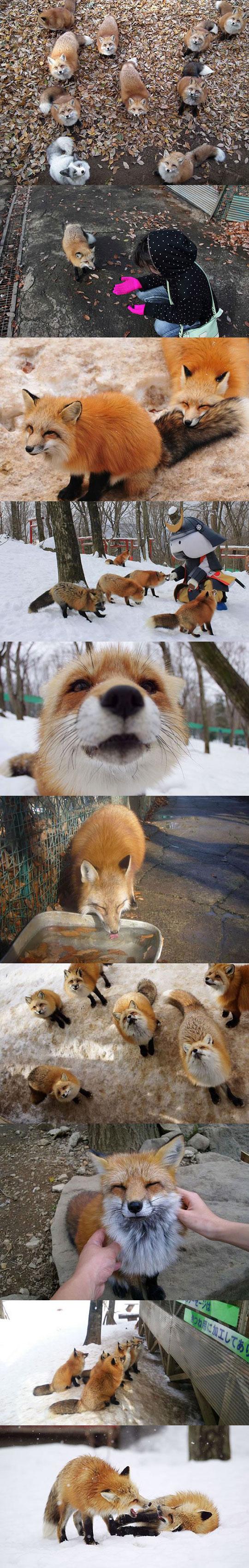 Wonderful Fox Village In Japan