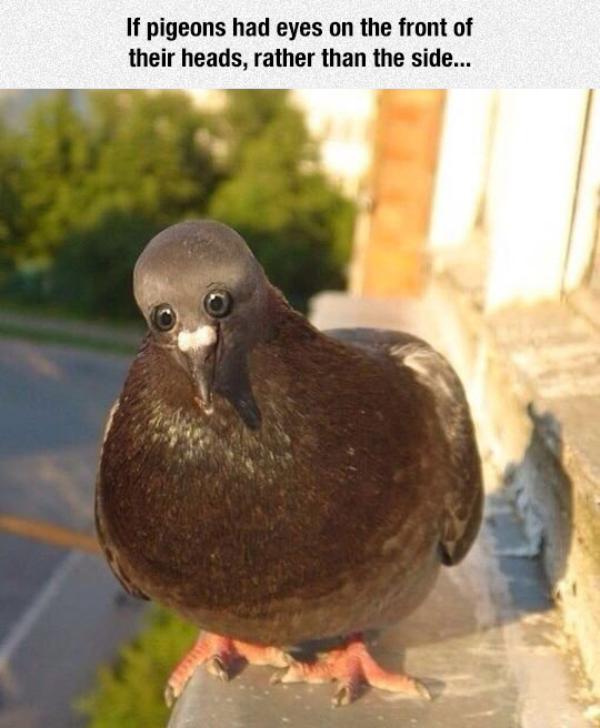 funny-pigeon-eyes-front