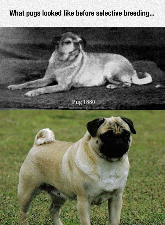 Before Selective Breeding