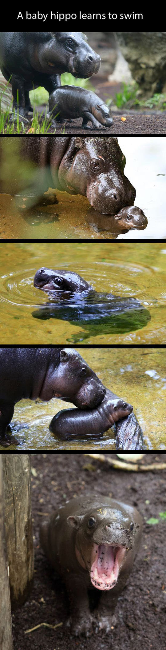 Baby Hippo Makes Me Happy