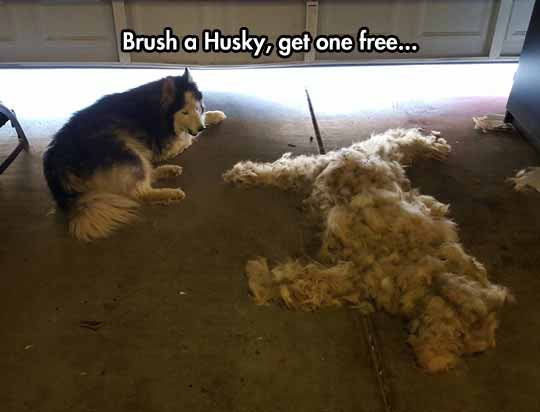 Husky Owners Will Know