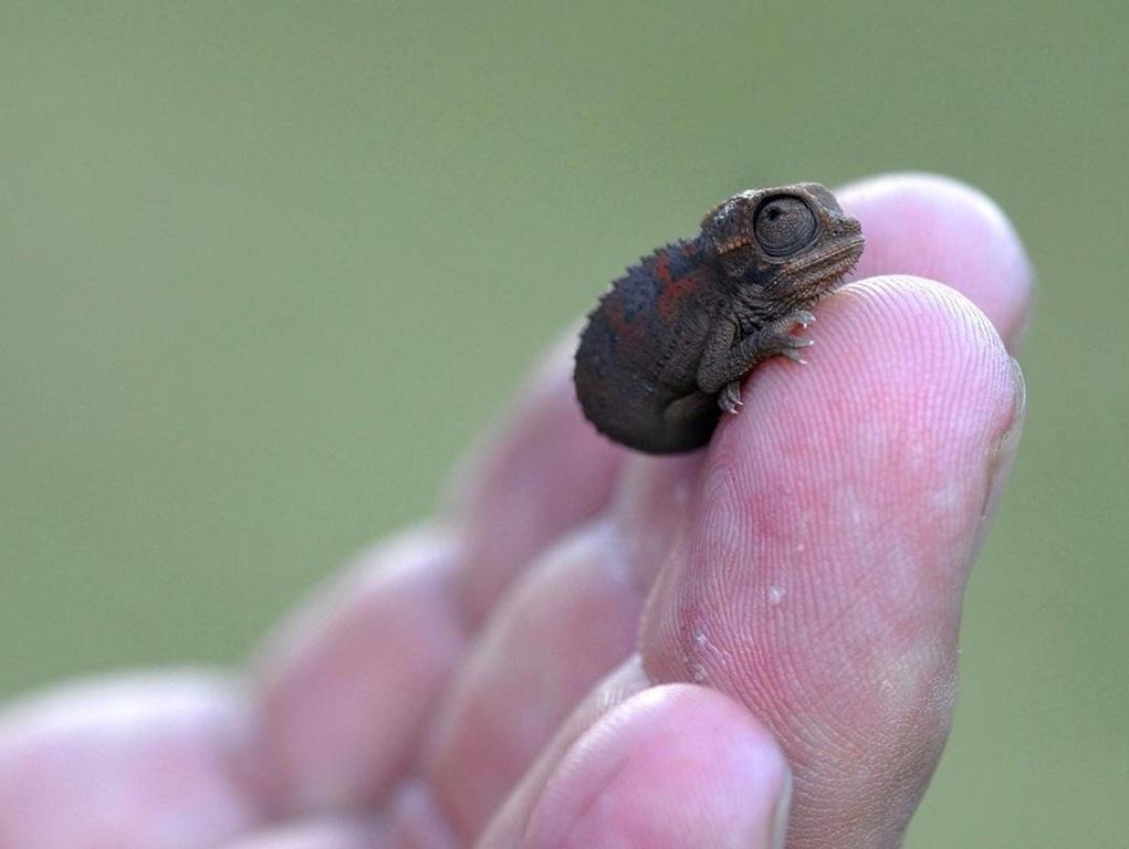Teenie weenie chameleon