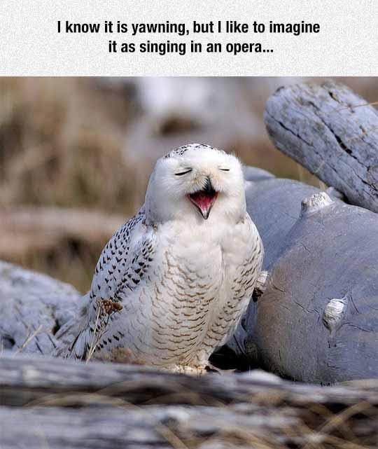 Tenor Owl