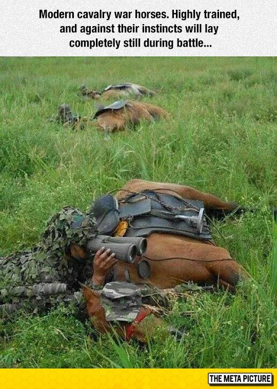 Modern Cavalry War Horses
