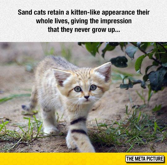 cute-sand-cat-kitten-adorable