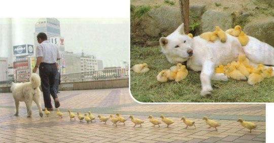 A duckling-fathering dog