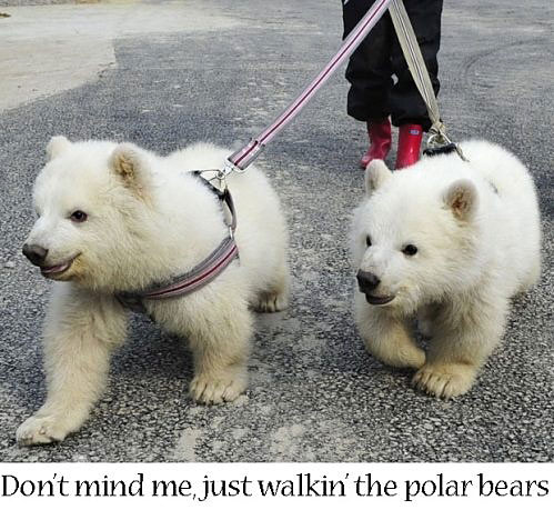 Just walking the polar bears