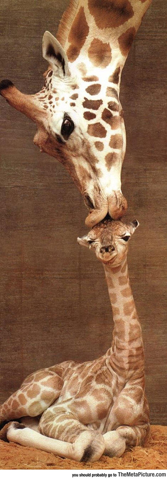 Mom Kisses Baby Giraffe