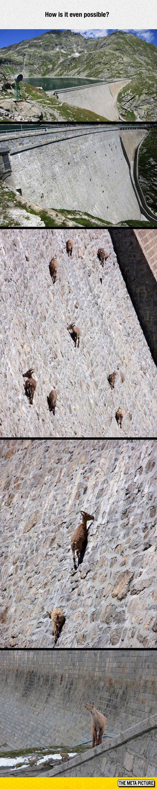 cool-goat-Alpine-Ibex-dam