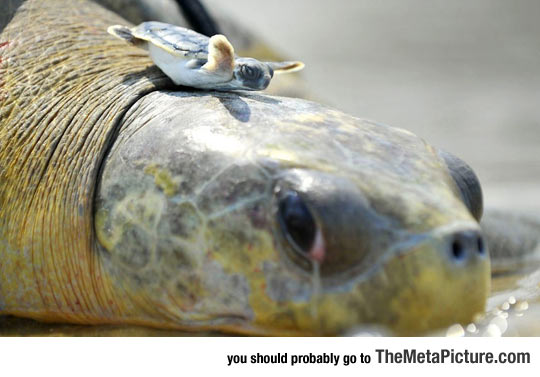 cute-turtle-balancing-mother