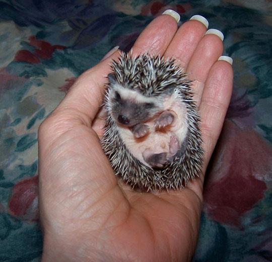 Tiny baby hedgehog