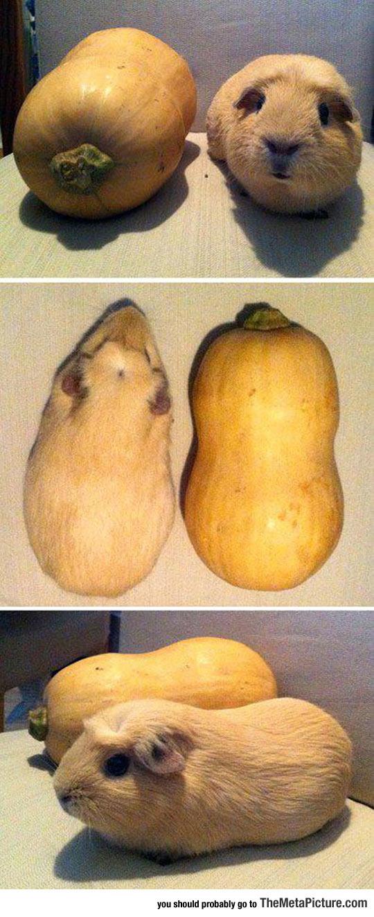cool-pumpkin-guinea-pig