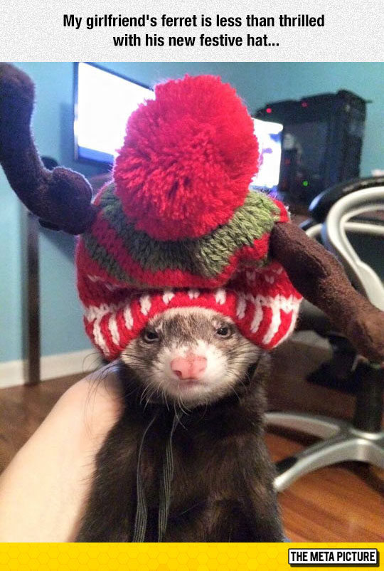 cute-ferret-hat-angry