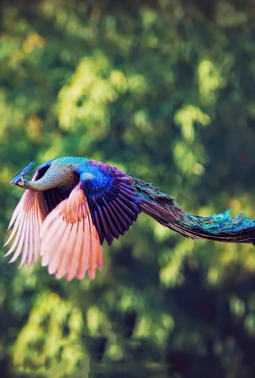 Peacock in Fligh