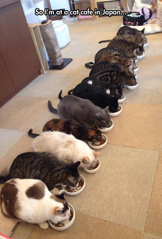 funny-cat-cafe-Japan-eating