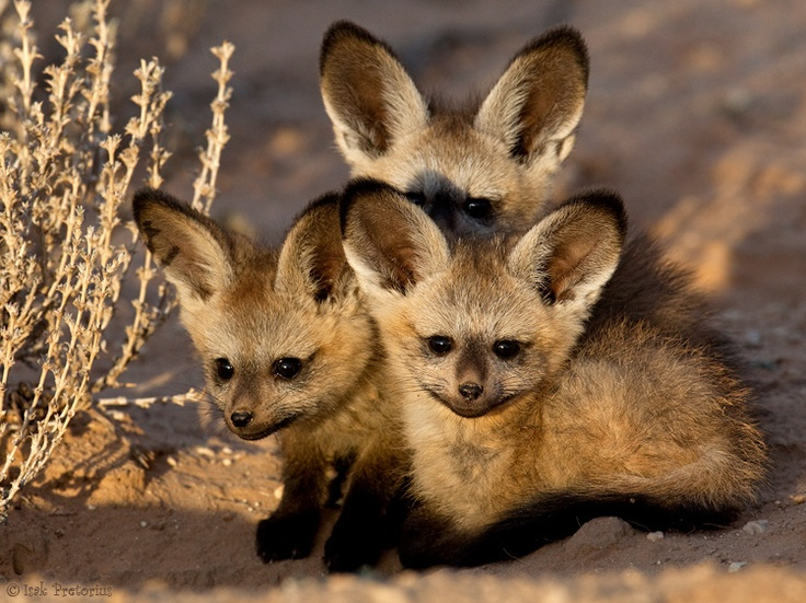 African bat-eared foxes.