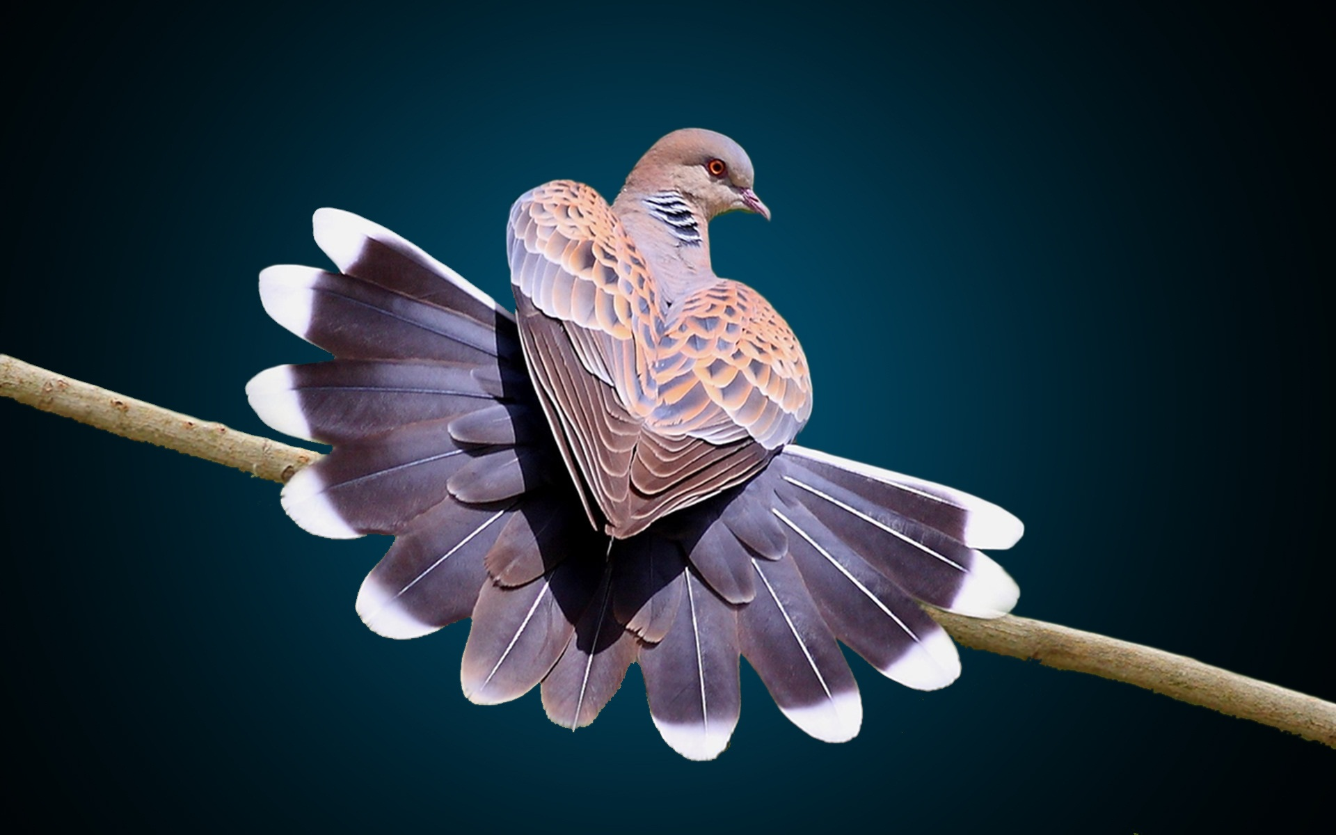 Dove tail