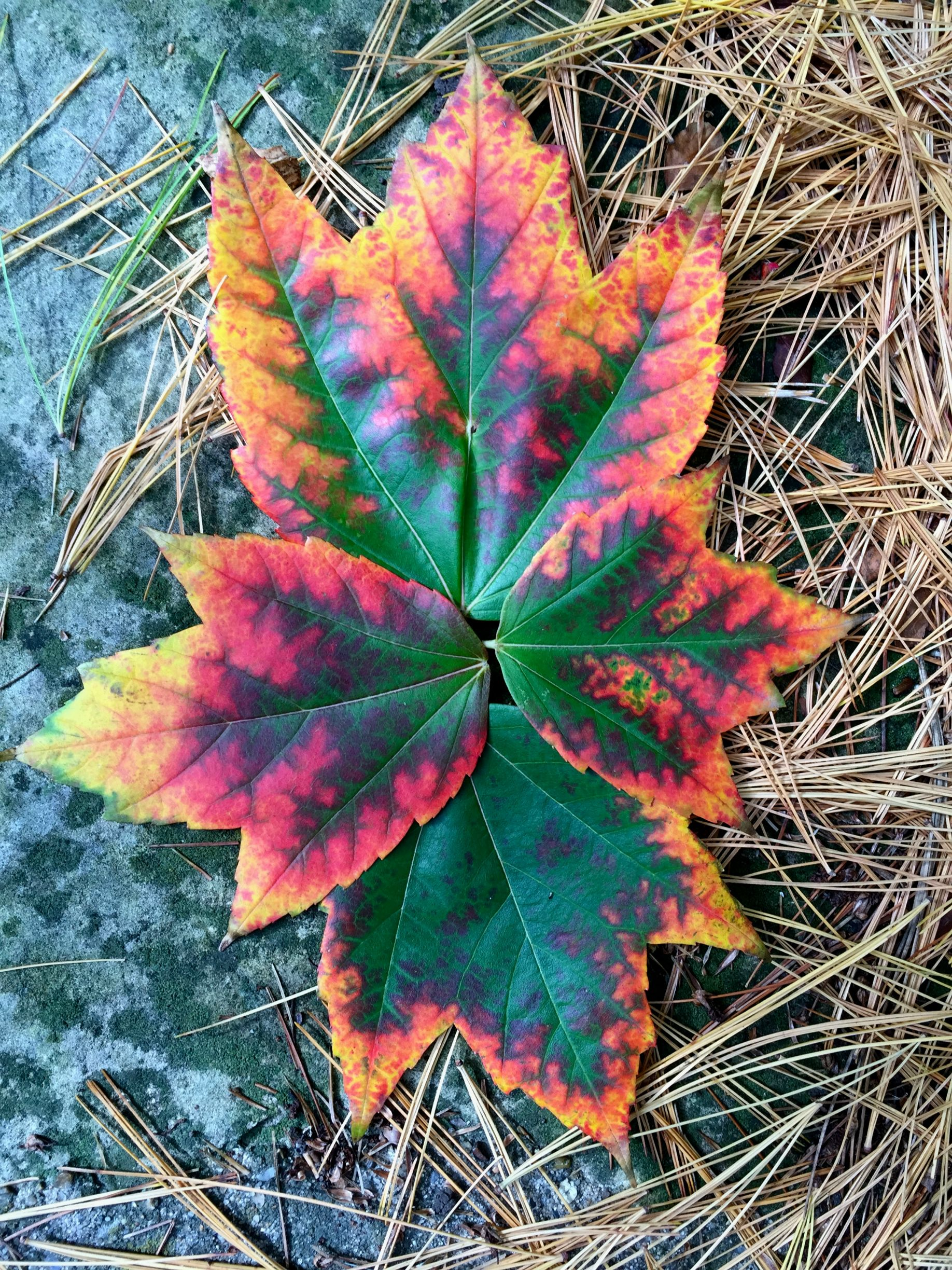 These leaves look like they are on fire