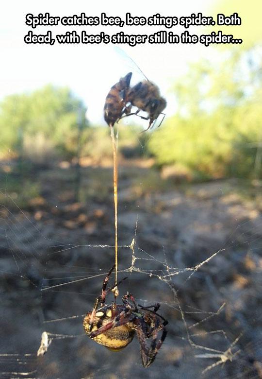 bee-killing-spider-web