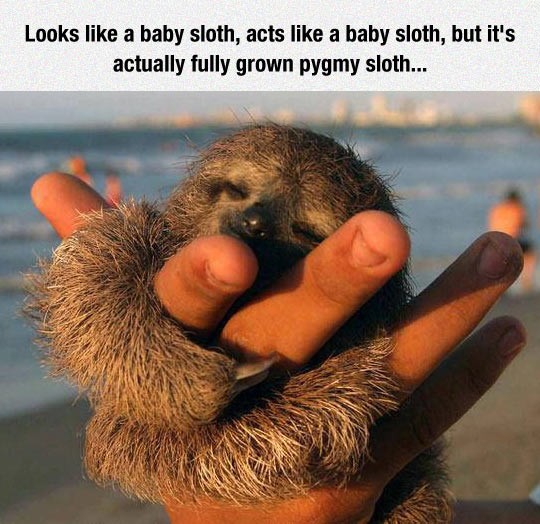 This Pygmy Sloth Is A Huger