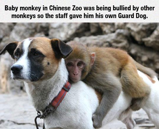 cool-bullied-monkey-riding-guard-dog