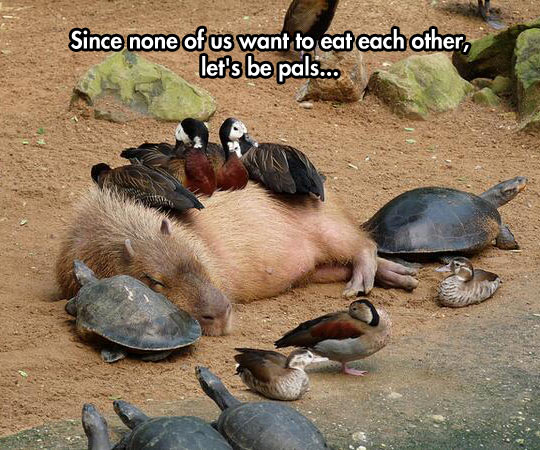 cool-capybaras-duck-turtle-sleeping