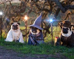 The Lord Of The Pugs