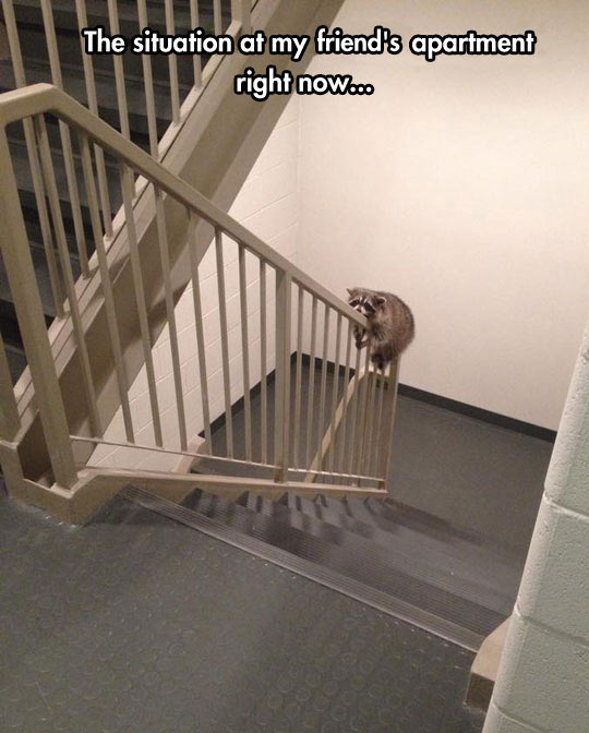 cool-raccoon-climbing-stairs-rail