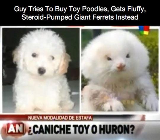 funny-dog-fluffy-ferret