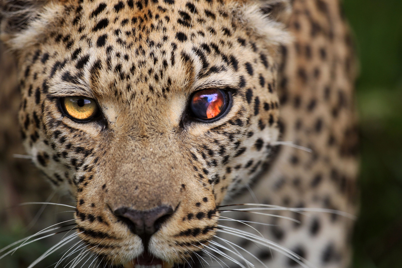 A Leopard with a unique eye