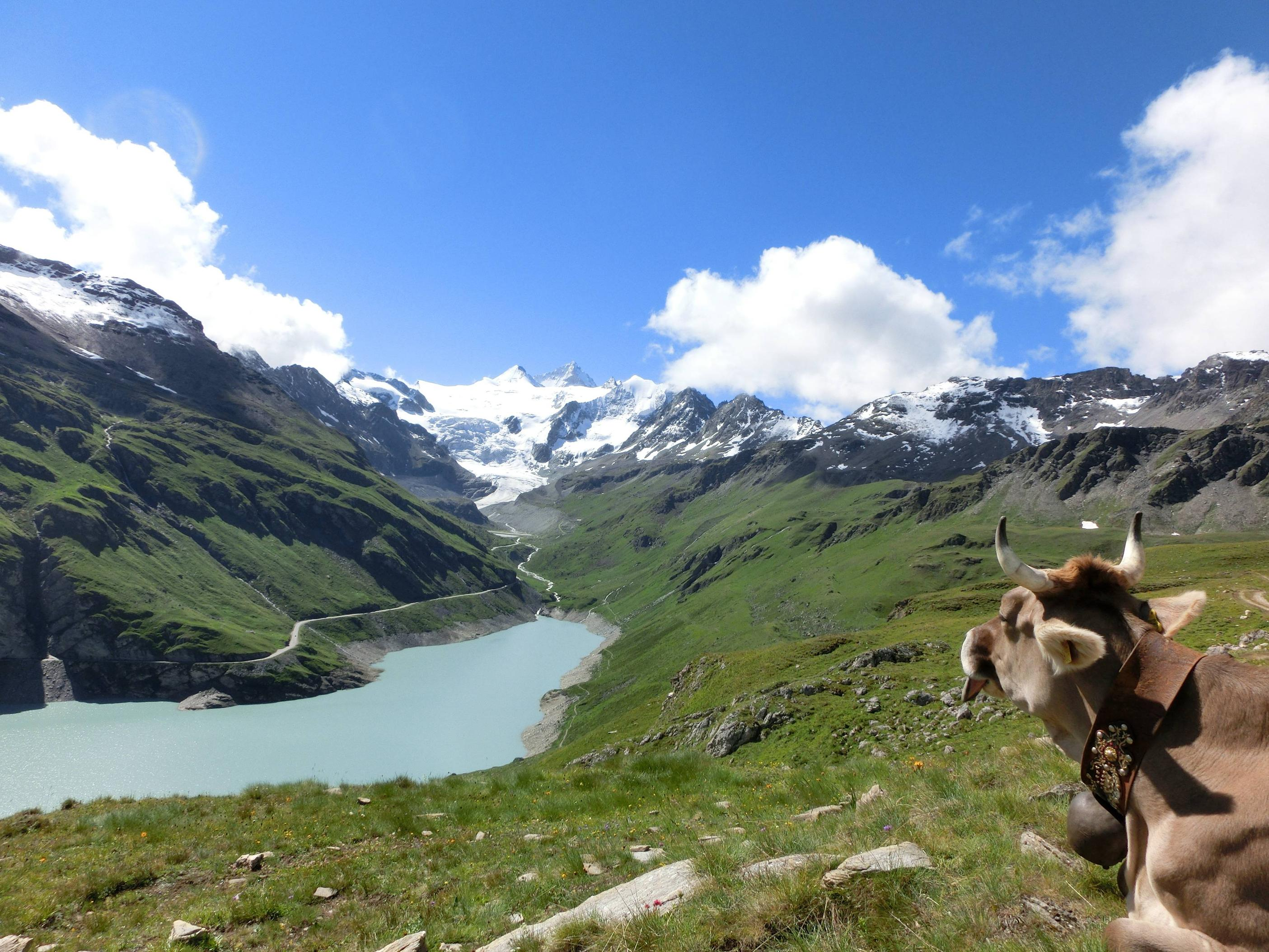 A Swiss cow enjoying the view.