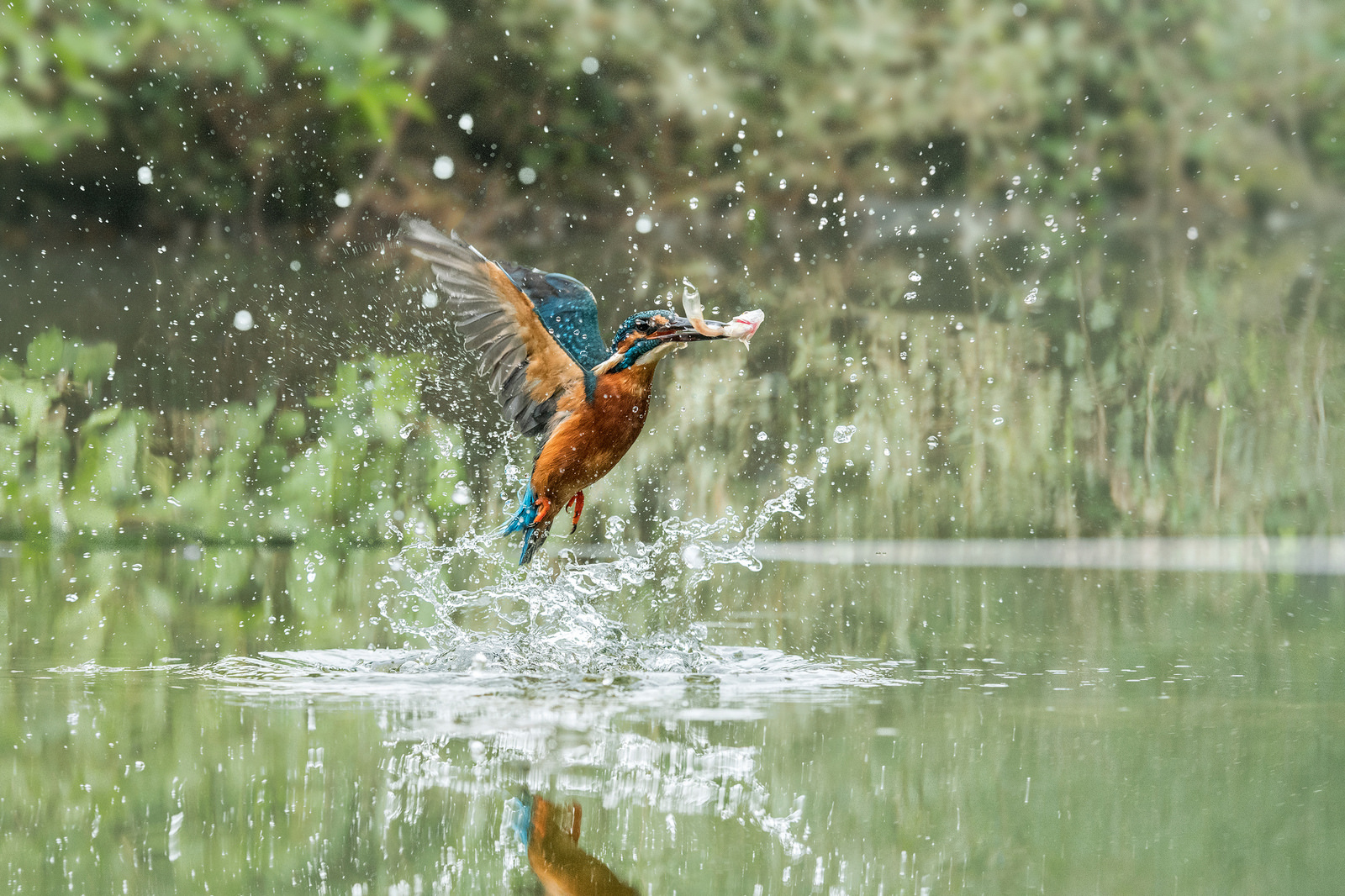 A kingfisher grabbing some food