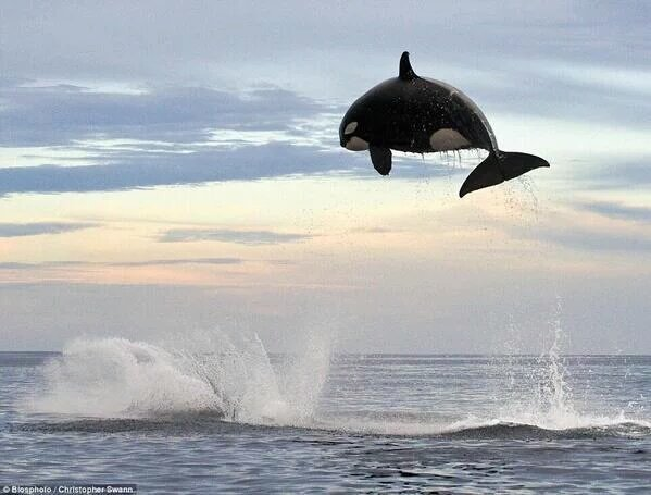 An 8 ton orca jumping out if water.