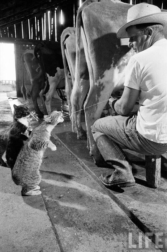 Catching Some Milk At A Dairy Farm