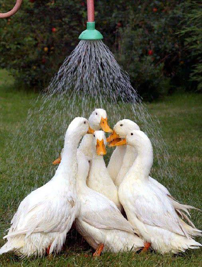 Ducks taking shower together